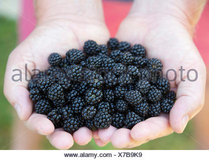 freshly picked wild blackberries held in the hand, with red shorts background - Stock Photo