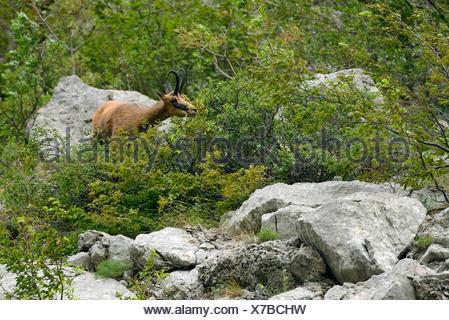 Balkan Chamois (Rupicapra rupicapra balkanica) Gems, Paklenica National Park, Velebit Nature Park, Rewilding Europe area, Velebit mountains, Croatia - Stock Photo