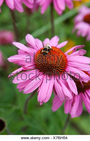 Bee on Echinacea purpurea 'Rubinglow' - Stock Photo
