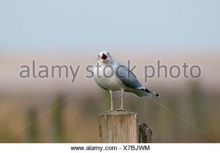 Common Gull Larus canus Cley Norfolk winter - Stock Photo