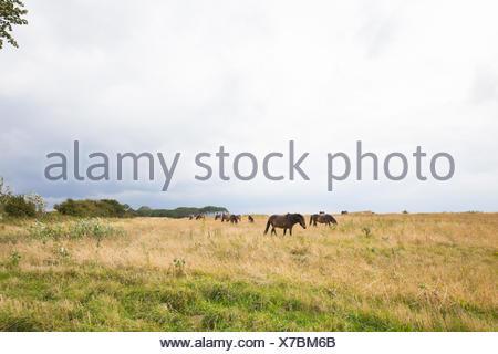 Eine Gruppe von Wildpferden auf einer Weide in der Nähe von Bagenkop, Langeland - Stock Photo