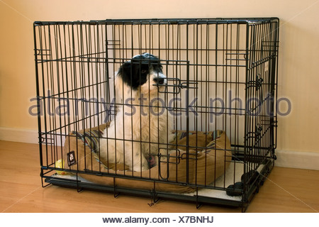 cockapoo puppy sitting in cage indoors - Stock Photo