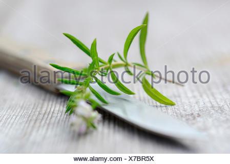 Summer savory / (Satureja hortensis) - Stock Photo