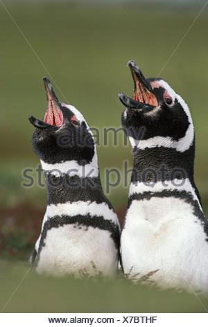 Falkland Islands South Atlantic islands Magellanic penguins calls Spheniscus magellanicus