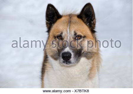 Greenland Dog (Canis lupus familiaris). Portrait of adult - Stock Photo