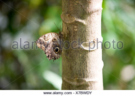 An Owl butterfly Caligo Memnon resting on a tree, side view - Stock Photo
