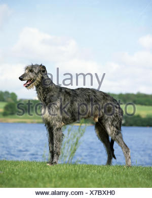 Scottish Deerhound Dog, Male near Lake, - Stock Photo