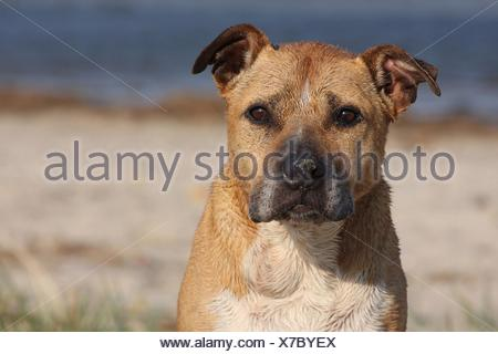 American Staffordshire Terrier Portrait - Stock Photo