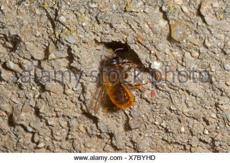 Red Mason Bee - Osmia bicornis - Stock Photo