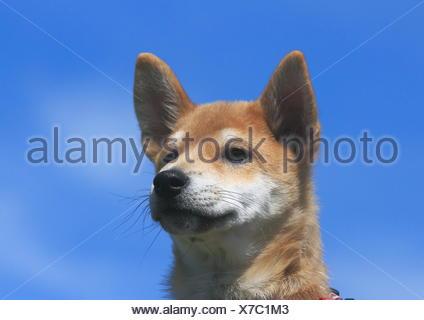 Shiba Inu, puppy, portrait, against blue sky, Germany - Stock Photo