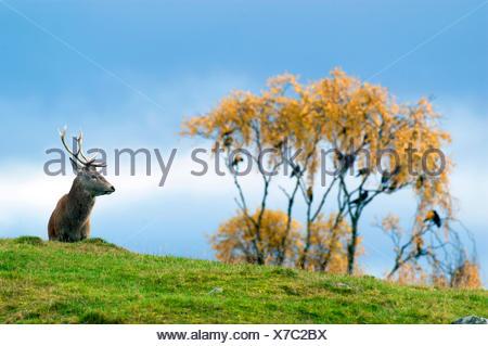 red deer (Cervus elaphus), stag in a meadow, United Kingdom, Scotland, Cairngorms National Park - Stock Photo