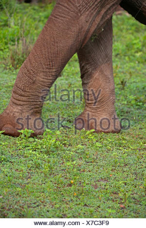 African elephant (Loxodonta africana), forefeet of an elephant, Tanzania, Serengeti National Park - Stock Photo