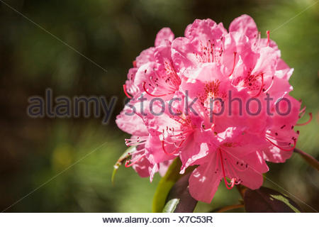 Close-up of pink Rhododendron - Azalea flowers in spring - Stock Photo