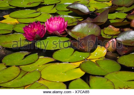 Two pink Water Lilies (Nymphaea) on the surface of a pond, Quebec Province, Canada - Stock Photo