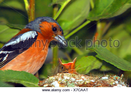 Male chaffinch feeding chicks - Stock Photo