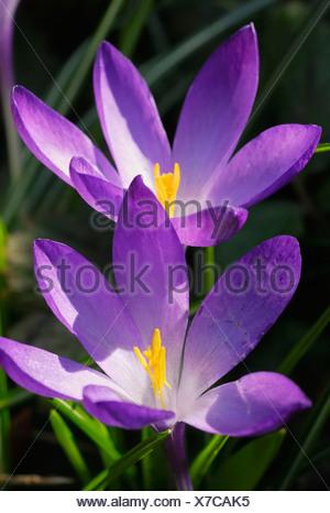 Violette wild crocuses (Crocus sativa, ssp.) - Stock Photo