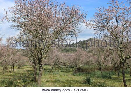 Old almond trees at Valldemossa - Stock Photo