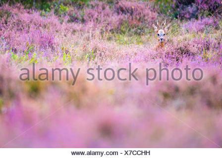 roe deer buck in flowering heathland - Stock Photo