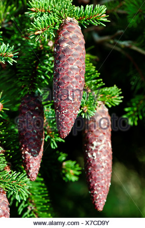 Blätter, norway spruce, cone, spruce cone, spruce needles, Jura, canton Solothurn, conifer, nature, Picea abies, Rottanne, Schup - Stock Photo