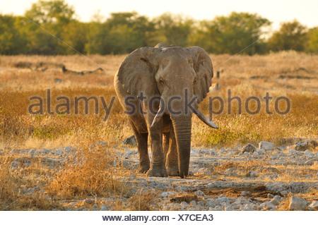 Africa, Etosha, National Park, Namibia, african, animal, dusk, elephant, animal, horizontal, landscape, plains, safari, savannah - Stock Photo
