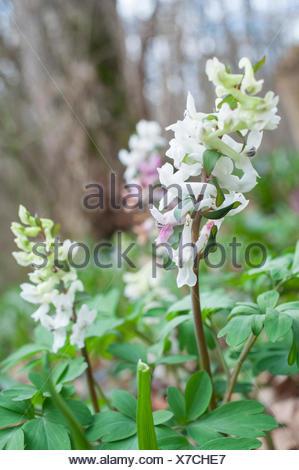 hollowroot, swabian-franconian forest, Baden-Wuerttemberg, Germany, , Corydalis cava - Stock Photo