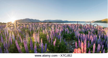 Sun shining through purple Large-leaved lupines (Lupinus polyphyllus), sunstern, sunrise, Lake Tekapo, Canterbury region - Stock Photo