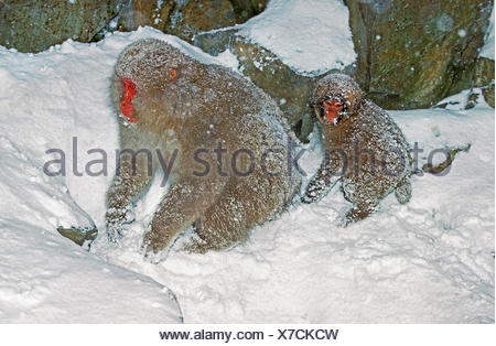 Japanese Macaque, macaca fuscata, Mother with Young, Hokkaido Island in Japan - Stock Photo