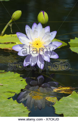 Blue water lily, - Stock Photo
