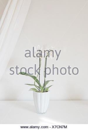 White orchid flowers in pot with white linen drape against white wall. - Stock Photo