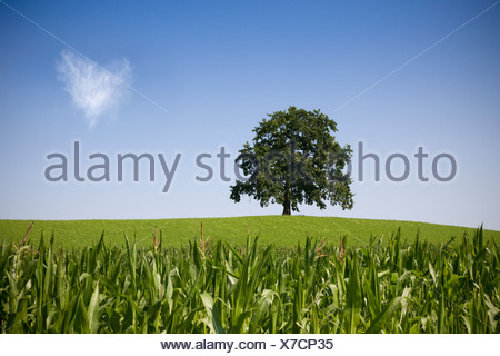 oak tree on hill in summer - Stock Photo