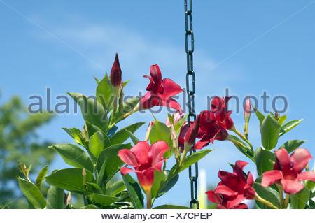 Dipladenia, Mandevilla-Hybride - Stock Photo