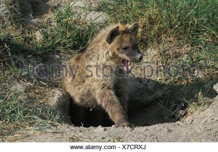 Spotted Hyena, crocuta crocuta, Young Yawning  at Den Entrance, Masai Mara Park in Kenya - Stock Photo