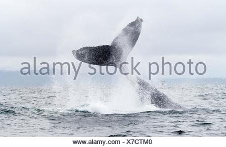Humpback Whale tail slapping in Monterey, California, USA. - Stock Photo