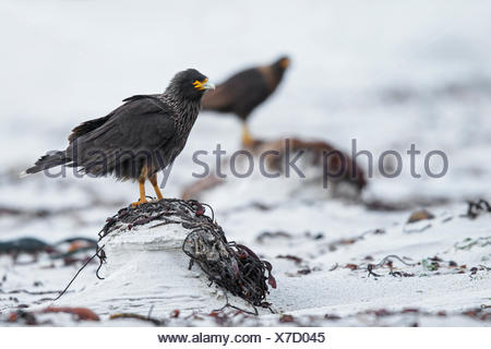 Striated Caracara (Phalcoboenus australis) on a beach in the Falkland Islands. - Stock Photo