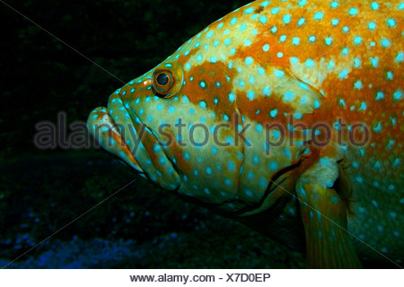 blacktipped grouper, blacktip grouper, blacktip rockcod (Epinephelus fasciatus), portrait, lateral - Stock Photo