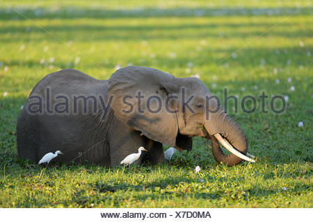 African Elephant (Loxodonta africana), standing in overgrown waterhole, feeding on water plants, cattle egrets next to it - Stock Photo