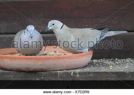 Tuerkentaube, Tuerken-Taube (Streptopelia decaocto), zwei Tuerkentauben am Futterplatz, Deutschland | collared dove (Streptopeli - Stock Photo