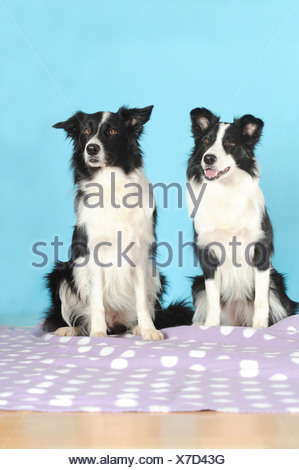 Two Border Collies sitting on a purple blanket in front of turquoise - Stock Photo