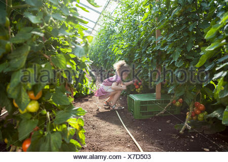 Little girl  harvesting tomatoes in greenhouse - Stock Photo