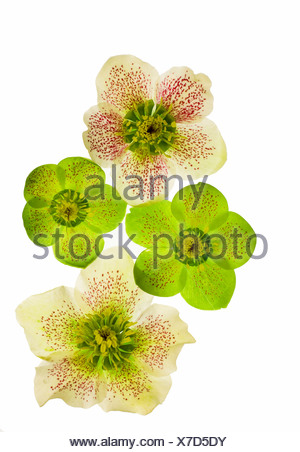 hellebore (Helleborus spec.), cut out of a flower - Stock Photo