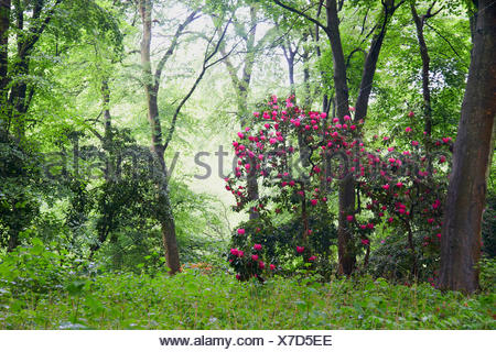 Rhododendron (Rhododendron spec.), blooming in a forest, 1 - Stock Photo