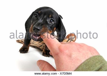 Kurzhaardackel, Kurzhaar-Dackel, Kurzhaarteckel, Kurzhaar-Teckel, Teckel, Dachshund (Canis lupus f. familiaris), vorwitziger Wel - Stock Photo