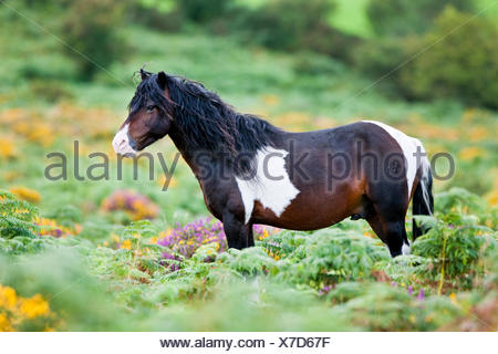Dartmoor Hill Highland Pony, brown white spotted, stallion, blooming heather, moorland, Dartmoor National Park, Devon - Stock Photo