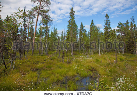 cotton grass, conifers and mire , Russia, Kolahalbinsel - Stock Photo