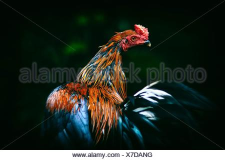 Close-Up Of Rooster - Stock Photo