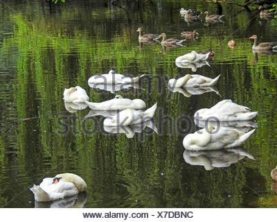 mute swan (Cygnus olor), sleeping mute swans on the river Alster, Germany, Hamburg - Stock Photo