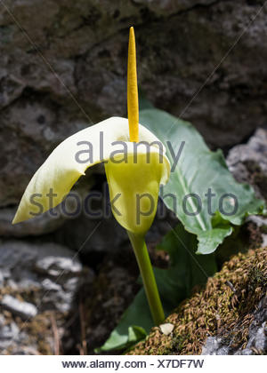 Araceae, arum, Arum creticum, blossom, flourish, flower piston, plant, Monocotyledons, flora, Yellow, piston, Kretischer arum, pl - Stock Photo