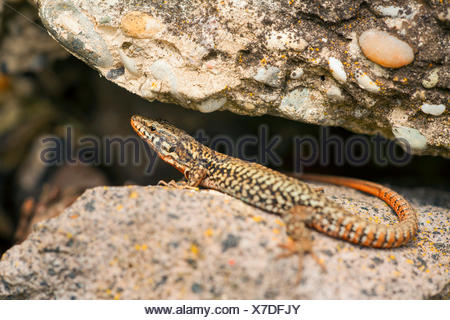 common wall lizard (Lacerta muralis, Podarcis muralis), on a stone, Germany, Baden-Wuerttemberg, Kaiserstuhl - Stock Photo