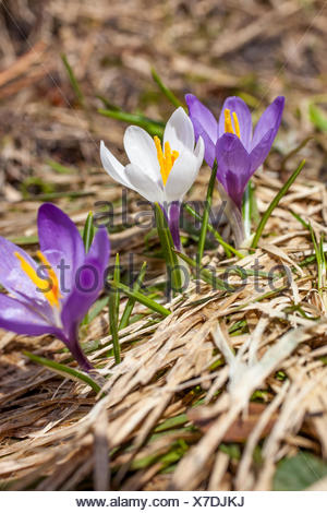 botany, lilac and whiteness crocus in the Knuttental, Rein in Taufers, Reintal, South Tyrol, Italy, Additional-Rights-Clearance-Info-Not-Available - Stock Photo