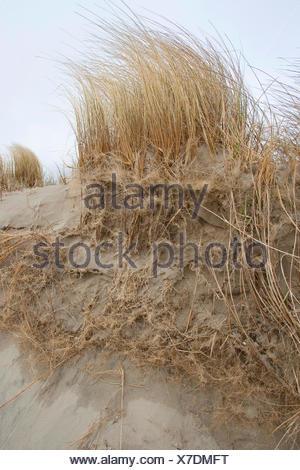 beach grass, European beachgrass, marram grass, psamma, sea sand-reed (Ammophila arenaria), on a dune with roots, Germany - Stock Photo
